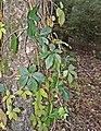Parthenocissus inserta-0917.jpg