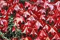 Parthenocissus tricuspidata - Boston Ivy - geograph.org.uk - 565377.jpg
