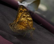 Partially open wing position of Vagrans egista Cramer, 1780 – Vagrant WLB IMG 9640 30.jpg