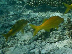 Gold-saddle goatfish (Parupeneus cyclostomus)