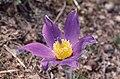 Pasque Flower (Pulsatilla vulgaris) (43046990950).jpg