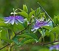 Passiflora incarnata (1).jpg