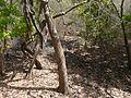 Patana Oak (3382166511).jpg
