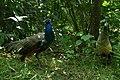Peacock At Himmatpura Village Moga Punjab India.jpg