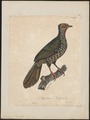 Penelope marail - 1825-1834 - Print - Iconographia Zoologica - Special Collections University of Amsterdam - UBA01 IZ16900119.tif