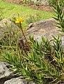 Peninsula Rambling Aloe - Aloe commixta 4.jpg