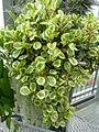 Peperomia obtusifolia 'Greengold'.jpg