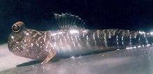 khusus dan adaptasi fisiologi bagi cara hidup afimbia. Ini termasuk