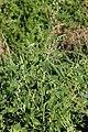 Peronospora variabilis on Lamb's Quarters - Chenopodium album (30483712507).jpg
