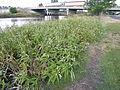 Persicaria lapathifolia plant7 NWP (17192588052).jpg