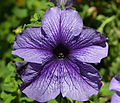 Petunia x hybrida 'PAS3085' Flower.JPG