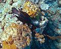 Phalacrocorax auritus (double-crested cormorant) (San Salvador Island, Bahamas) 1 (15998394957).jpg
