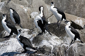Group of Black-faced Cormorants roosting on rocks