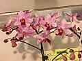 Phalaenopsis Little Gem Stripes x Holcoglossum amesianum -台南國際蘭展 Taiwan International Orchid Show- (39927693305).jpg