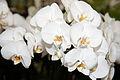 Phalaenopsis hybrid Heide - Internationale Orchideen- und Tillandsienschau Blumengärten Hirschstetten 2016.jpg
