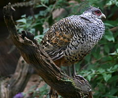 Pheasant at Sudeley Castle.jpg