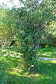 Philadelphus pubescens - Bergianska trädgården - Stockholm, Sweden - DSC00096.JPG