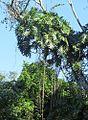 Philodendron bipinnatifolia - Flickr - Dick Culbert.jpg