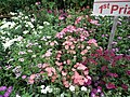 Phlox from Lalbagh flower show Aug 2013 8174.JPG