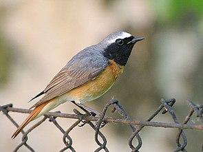 Gartenrotschwanz (Phoenicurus phoenicurus), Männchen