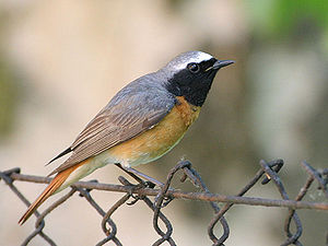 Image shows a male Common Redstart (Phoenicuru...