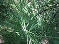 Phoenix humilis NP2.jpg