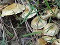 Pholiota gummosa BS21 (2).jpg