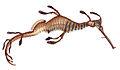 Phyllopteryx taeniolatus McCoy.jpg