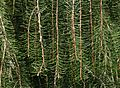 Picea breweriana - foliage - Flickr - S. Rae.jpg