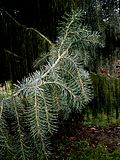 Picea breweriana young shoots.jpg