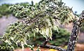 Picea sitchensis, Fourmile Creek, Coos Bay, Oregon 2.jpg