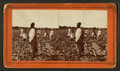 Picking cotton, from Robert N. Dennis collection of stereoscopic views 3.png