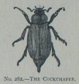 Picture Natural History - No 282 - The Cockchafer.png