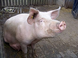 Large White pig - A Large White in a sty