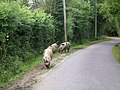 Pigs in the New Forest - geograph.org.uk - 1431357.jpg