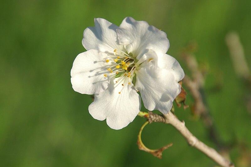 פרח שקדיה