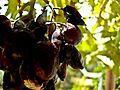 PikiWiki Israel 29447 Rotten grapes.jpg