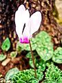 PikiWiki Israel 29594 White Cyclamen.jpg