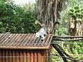 PikiWiki Israel 33154 Ring-tailed lemur in Zoo-Botanical Garden Nahariya.JPG