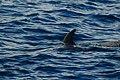 Pilot whale (4201803597).jpg