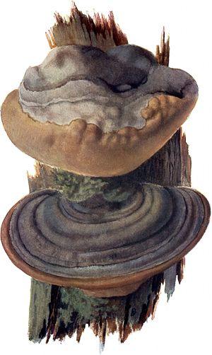 Phellinus igniarius - Image: Pilze d. Heimat, T. 24 Polyporus igniarius