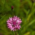 Pink Wild Flower (14570153290).jpg