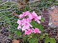 Pink geranium flowers.jpg