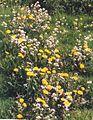 Pinkster-paardebloemen.jpg