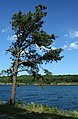 Pinus rigida CapeCodCanal.jpg