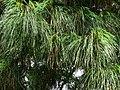 Pinus strobus Syrets2.JPG