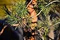 Pinus sylvestris (8441059749).jpg