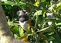 Pipilo maculatus 5.jpg
