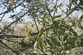 Pistacia atlantica-3186.jpg