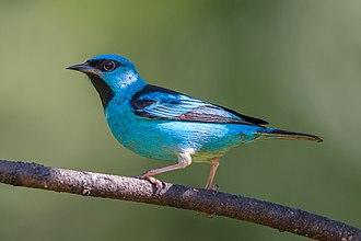 Blue dacnis - Adult male